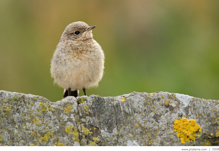 Northern Wheatear juv. (Oenanthe oenanthe)