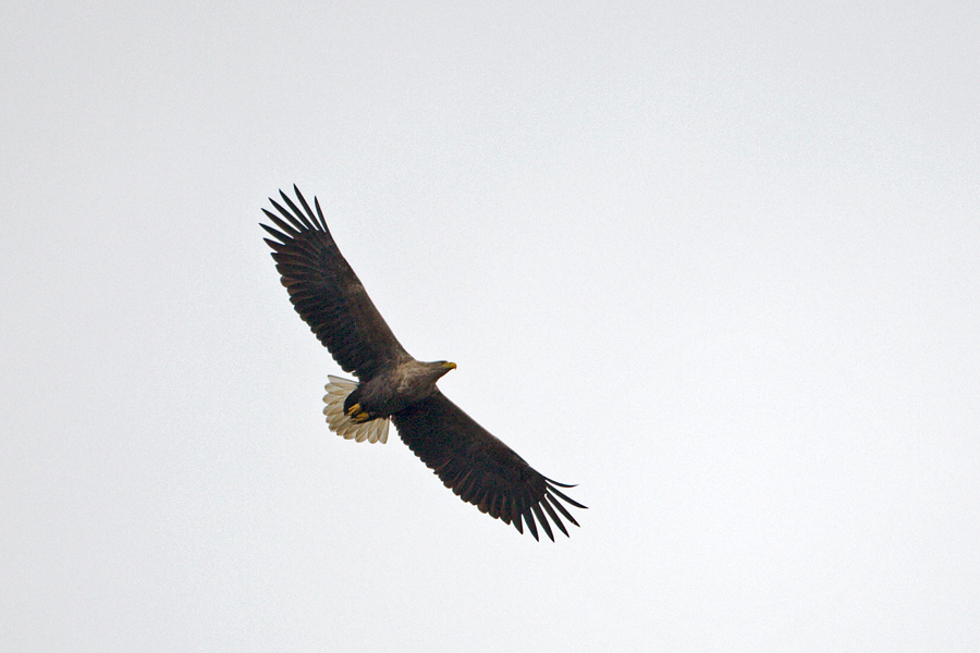 Orel mořský / White-tailed Eagle, Hellesoy