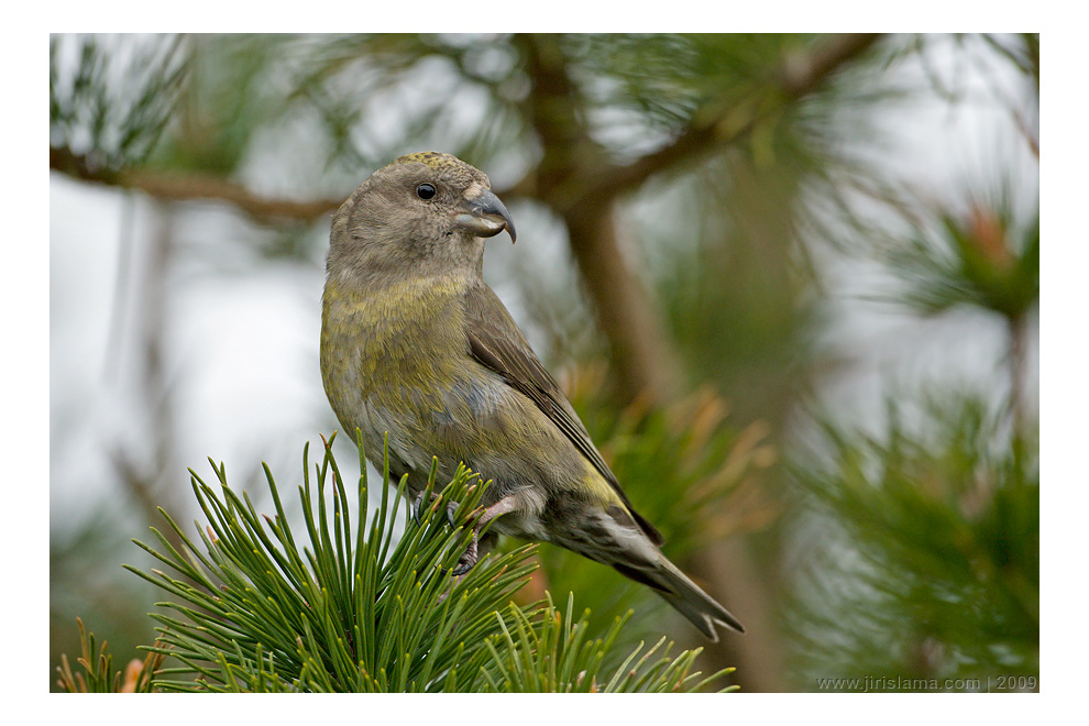 Křivka obecná, samice / Common Crossbill, female, Hellesoy