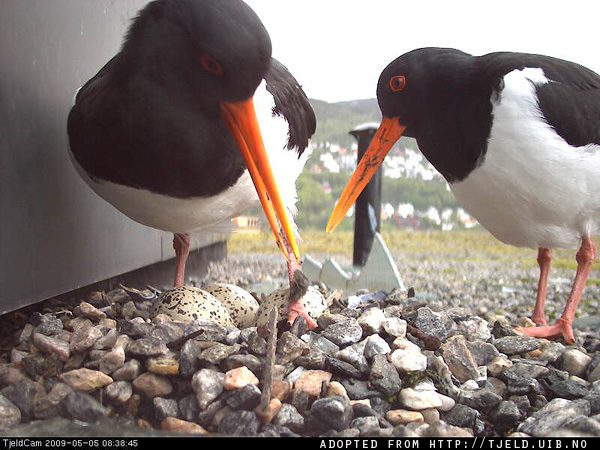 Pair of Oystercatchers on the nest